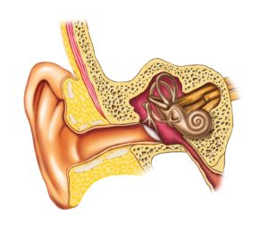 inner ear picture